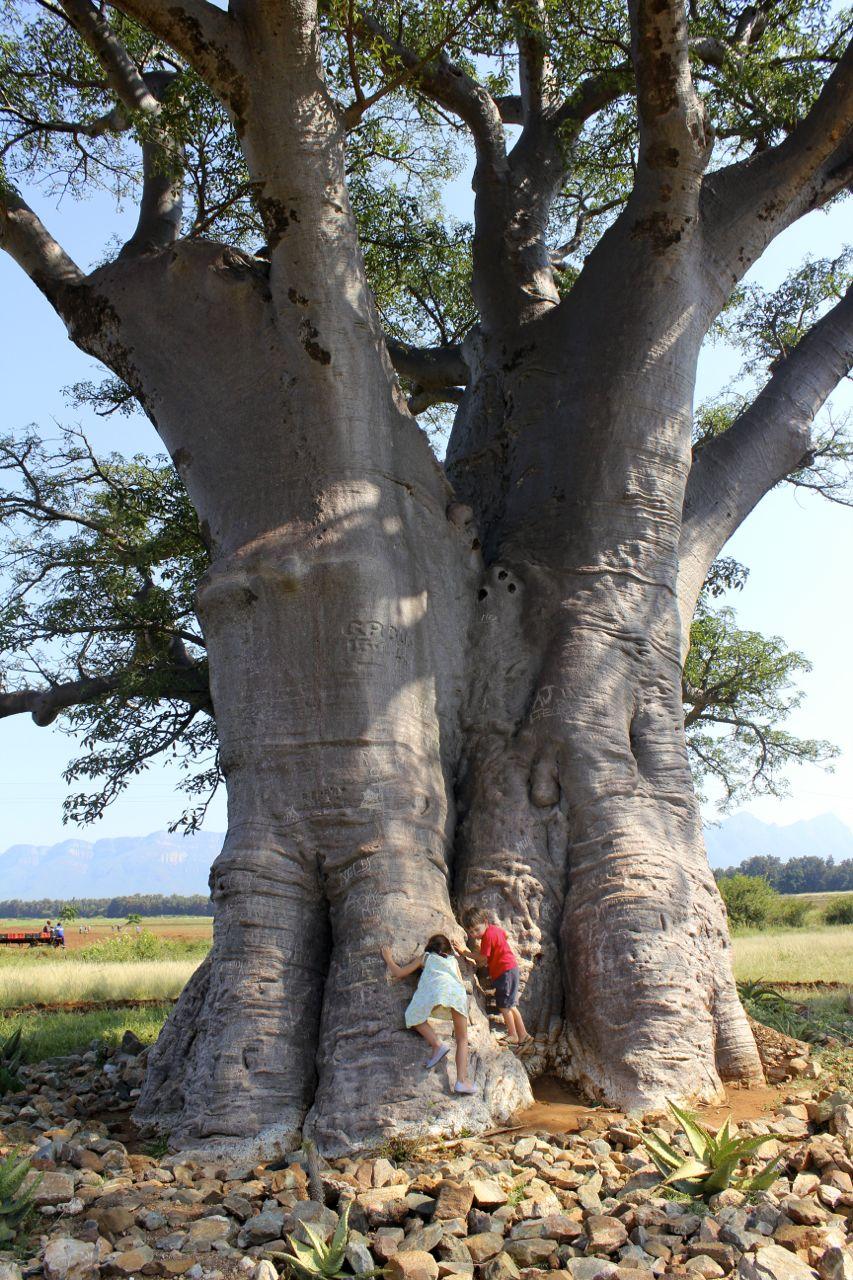 climbing baobab