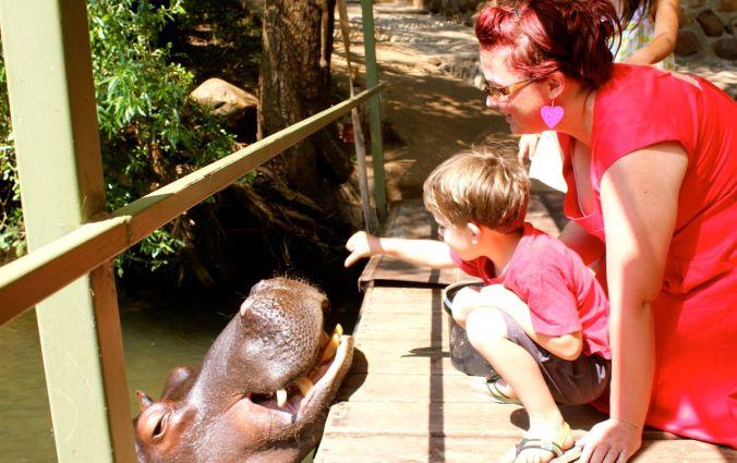 feeding hippo