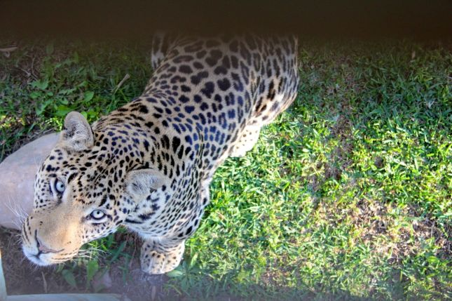 "Nick took this photo of a beautiful leopard staring up at him through the boards of the ""cat walk""..."