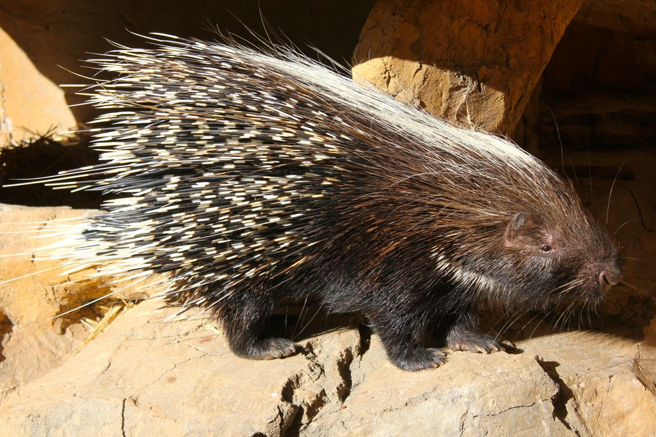There were 2 porcupine parents (the mom was albino) and 2 porcupine babies! The kids loved watching the porcupines - and especially after collecting porcupine quills (and appreciating how sharp and strong they were) - it was great for them to finally SEE live porcupines.