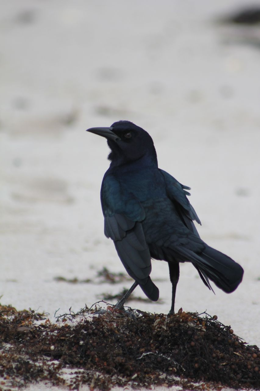 Beach bird… (is this a starling?)...