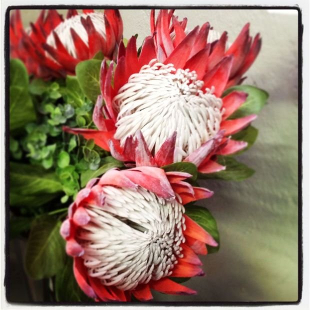 Proteas - my favourite flower. I LOVE them… and they grow right here, in this region. :-)