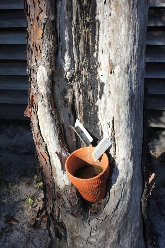 turpentine tree