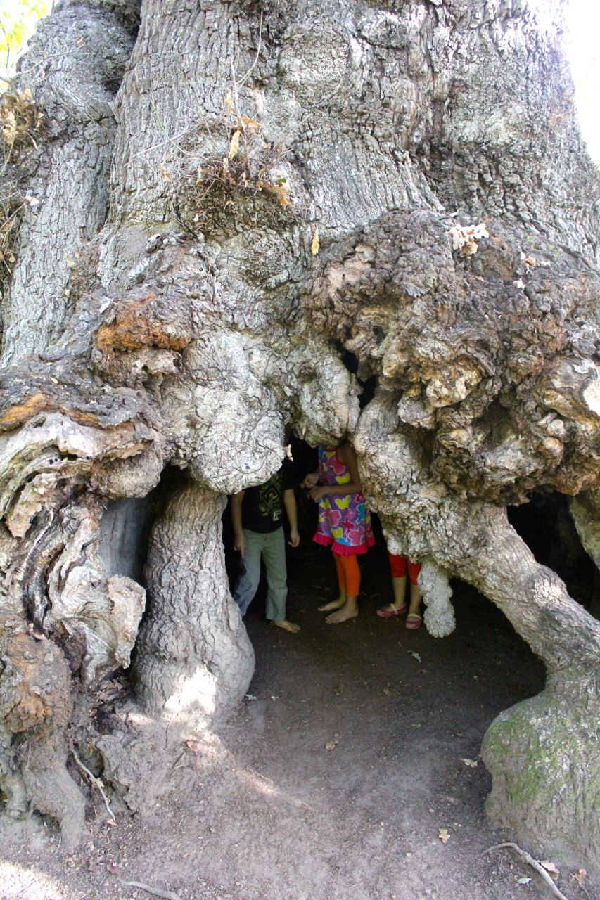 The kids exploring the inside of Africa's oldest oak tree (planted somewhere between 1700 and 1706)...