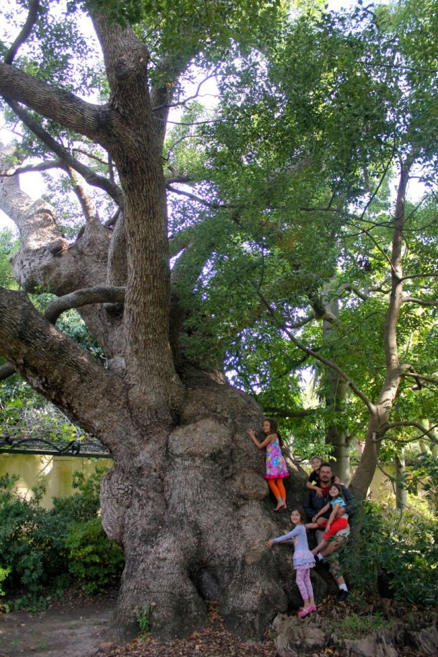 Dino and the kids on one of the camphor trees...