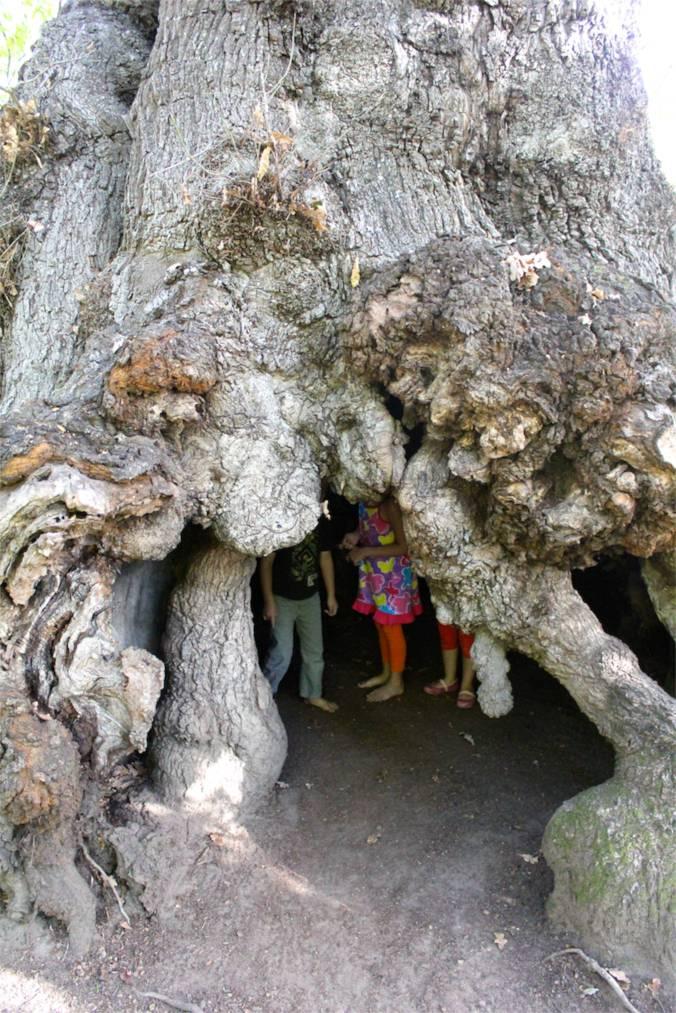 Inside Africa's oldest oak tree at Vergelegen Wine Estate.
